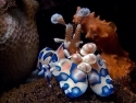 Harlequin Clown Shrimp