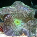 Stripe Saddle Carpet Anemone