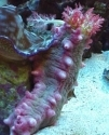 Pink Knobby Sea Cucumber