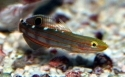 Rainfordi Goby