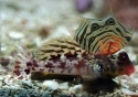 Scooter Blenny