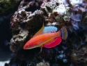 Fairy Carpenter's Wrasse