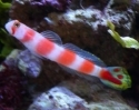 African Flame Tail Goby