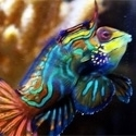 Aquacultured/Wild caught Mandarin/Dragonets