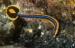 detail_10411_Bluestripe_pipefish_africa.jpg
