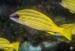 detail_11855_Blueline_snapper_fish.jpg