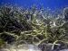 detail_9492_Staghorn-coral.jpg
